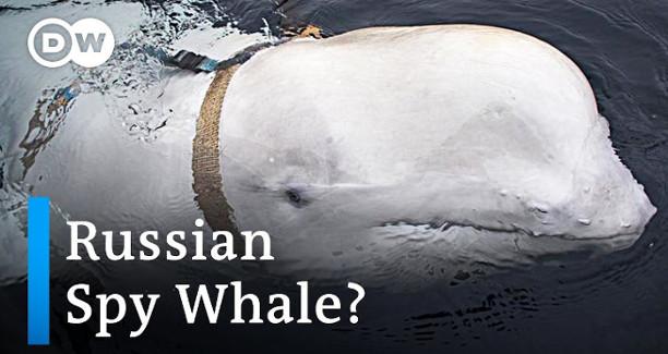 Russian Spy Whale